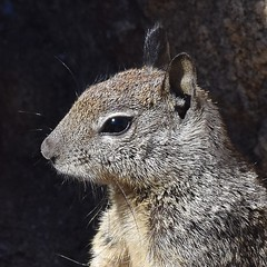 Squirrel #1 (MJ Harbey) Tags: animal mammal sciuridae usa pacificgrove california loverspointpacificgrove squirrel greysquirrel nikon d3300 nikond3300