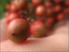 (Tölgyesi Kata) Tags: nandinadomestica japánszentfa égibambusz mennyeibambusz heavenlybamboo sacredbamboo füvészkert botanikuskert botanicalgarden withcanonpowershota620 budapest fruit berry red hand kéz autumn ősz herbst