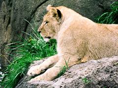 lioness (Roelofs fotografie) Tags: wilfred roelofs lioness nikon d5600 wild wildlands 2017 nature dutch holland neterlands outdoor zoo leeuw leeuwin animals animal adventure emmen dieren dierentuin ngc green grass mammal rock