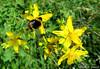 Le bourdon et le Millepertuis (jean-daniel david) Tags: insecte bourdon bee insectevolant fleur millepertuis jaune vert verdure feuille nature bokeh