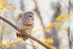 Barred...{Explored} (DTT67) Tags: autumn wildlife nature 1dxmkii canon owl barredowl