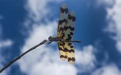 Rhyothemis graphiptera (dustaway) Tags: arthropoda insecta odonata anisoptera libellulidae rhyothemis rhyothemisgraphiptera dragonfly graphicflutterer australianinsects clagiraba clagirabaforestreserve coomeravalley sequeensland queensland australia