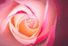 Layers of petals (Dhina A) Tags: sony a7rii ilce7rm2 a7r2 sigma 105mm f28 sigma105mmf28 ex dg os hsm macro rose flower layers colorful
