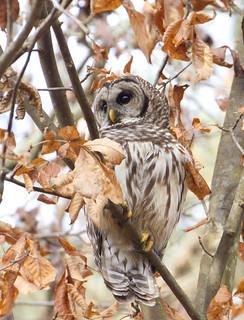 Barred owl, Strix varia, Northern barred owl, hoot owl