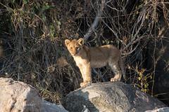 I am the King (mayekarulhas) Tags: krugerpark mpumalanga southafrica za lion cub canon canon500mm carnivores canon1dxmark2