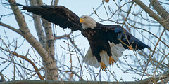 Bald Eagle Takes Off (dcstep) Tags: dsc5965dxo bif birdinflight flying flight wings sonya9 canonef500mmf4lisii ef14xtciii metaboneseftoetconvertermkv handheld eagle baldeagle cherrycreekstatepark colorado usa bird birdofprey raptor beak allrightsreserved copyright2017davidcstephens dxophotolab evening