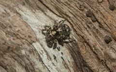 black Maratus/Saitis female (dustaway) Tags: arthropoda arachnida araneae araneomorphae salticidae euophryinae maratus saitismaratus jumpingspiders australianspiders tamborinemountain mounttamborine sequeensland queensland nature australia