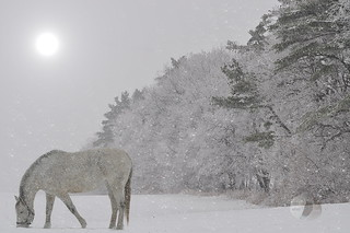 Grazing in the snow