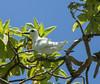 Fairy tern (M McM) Tags: tern bird remote island uninhabited pacificocean fairytern canoneos760d rare pitcairnislands ducieisland