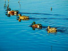 Ducks in a Row Digital Painting (randyherring) Tags: ca california centralcaliforniavalley cosumnesriverpreserve elkgrove afternoon aquaticbird nature outdoor recreational waterfowl wetlands