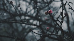 Sapa (dieforice) Tags: vietnam sapa flower fog nature tree