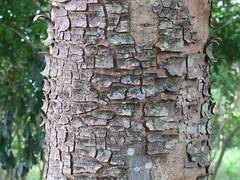 Khaya senegalensis bark (J. B. Friday) Tags: khaya khayasenegalensis meliaceae