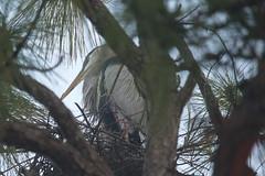 Nesting Great Blue Heron (sr667) Tags: portcharlotte florida usa us olliespond greatblueheron animalia taxonomy:kingdom=animalia chordata taxonomy:phylum=chordata aves pelecaniformes ardeidae ardea aherodias ardeaherodias nesting birds foggy