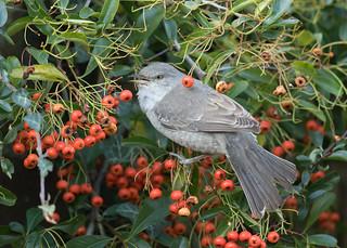 Barred Warbler - Sylvia nisoria
