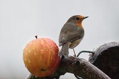 Rotkehlchen / Robin (reipa59) Tags: natur bird vogel robin rotkehlchen ransweiler rheinlandpfalz