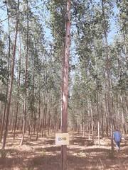 "GWD Forestry Eucalyptus GG100 Brazil <a style=""margin-left:10px; font-size:0.8em;"" href=""http://www.flickr.com/photos/47172958@N02/38556148185/"" target=""_blank"">@flickr</a>"