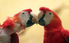 Ara Ouwehands BB2A7806 (j.a.kok) Tags: ara macaw vogel bird ouwehands