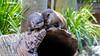 Togetherness.... (mandark_898) Tags: australiazoo otter cuteness adorable hugs water fur brown love pair two twins log tree green