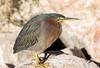 Green Heron (Ed Sivon) Tags: america canon nature lasvegas southwest wildlife wild western clarkcounty clark desert vegas bird henderson nevada nevadadesert preserve