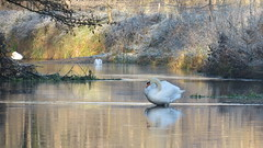 The Swan,the River and the Frost (hedgehoggarden1) Tags: river swan muteswan frost santondownham norfolk eastanglia uk canonpowershotsx50hs reflection canon