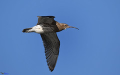 Curlew. (spw6156 - Over 6,404,003 Views) Tags: curlew iso cropped copyright steve waterhouse