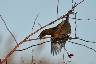 I'm going to get it, no matter what! - Female Blackbird