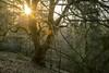 Character (siebensprung) Tags: tree baum beech buche rotbuche winter sunlight sonnenlicht sonne morning morgen wald woodland forest nature reserve natur naturschutzgebiet lensflare sunburst ostwestfalen bärenstein fagussylvatica laubbaum