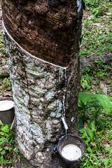 Malaysia-15271.jpg (CitizenOfSeoul) Tags: malaysia pulaulangkawi wildlife see langkawi andamanensee outdoor wildlebendetiere animal kautschuk baum tree