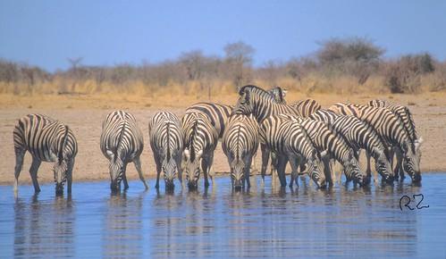 Zebra,Burchell's , drinking together , Mushara Water Hole Etosha  National Park Namibia.WM 4372