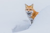 Fox in snow (Sammyboy77) Tags: redfox renardroux vulpesvulpes sammyboy77 winter cold