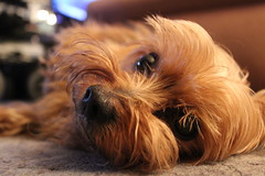 (txkxng) Tags: dog hund yorkshireterrier littledog wuff neumünster photo photography canon 1300d
