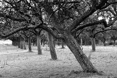 In a row. Old trees. (Gudzwi) Tags: bäume trees sw bw bwandsepia 7dwf 7dwfbwandsepia schwarzweis monochrome landschaft landscape rainydays regentage wiese meadow harz gras grass einfarbig