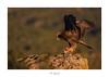 Queen of heaven (http://www.jcfajardophotography.com/) Tags: alicante animal animals aquilachrysaetos ave aves bird birds bocairent comunidadvalenciana fauna fincabuixcarró fundaciónvictorialaporta goldeneagle naturaleza nature sierrademariola vidasalvaje wild wildlife águilareal españa es nikon nikond800 d800 nikonlenses nikonlens nikkor nikkorlenses nikkorlens nikkor300mmf28 nikkor300mmf28vr edlenses ed edlens goldenring primelens prime primelenses ngc