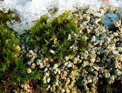 Snow and moss (Ostravak83) Tags: ostrava 2017 mech moss makro macro detail nikoncoolpix meandry meanders sníh snow zima winter mráz frost december prosinec příroda nature xanthoriaparietina terčovníkzední lišejník lichen