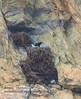 Golden Eagles 1 (paultnature) Tags: nature wildlife goldeneagles nests smithrocksstatepark oregon canon 5dmrk3 500f4lisaquilachrysaetos tnc18