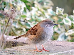 Winter forage! (macfudge1UK) Tags: ©allrightsreserved 2018 avian bbcspringwatch bird britain britishbird britishbirds bush coolpix coolpixp610 dunnock england fauna frost gb greatbritain leaf leaves nature nikon nikoncoolpixp610 oxfordshire oxon p610 shrub uk wall wildlife prunellamodularis akahedgesparrow