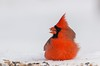 Cardinal rouge / Northern cardinal (KevParkerBigras) Tags: bird wild wildlife winter hiver nature kevparkerbigras flickr photo picture nikon d7000 300mm cardinal cardinalrouge northerncardinal îlestbernard châteauguay québec canada liberté rouge red