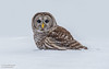 Barred Owl (salmoteb@rogers.com) Tags: bird wild outdoor wildlife snow hunting barred owl nature winter
