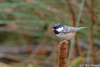 Perched (KCL Images) Tags: bird coaltit perch forest trees bokeh stump