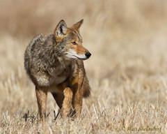 Coyote (Matt Shellenberg) Tags: coyote illinois
