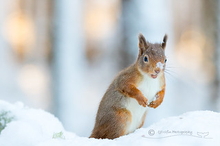 Snowy Forest Squirrel