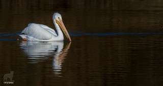 A fine old bird is the pelican