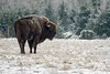 Frosty Morning (fascinationwildlife) Tags: animal mammal wild wildlife winter columbia snow ice frost wisent nature natur national bull bison field forest park nationalpark bialowieza polen poland endangered species