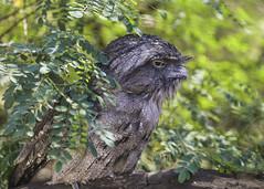 Tawny frogmouth (whereiscarmensd) Tags: animal animals australia wild wildlife travel outdoors park forest bird birds nature natural birding tawny tawnyfrogmouth frogmouth lyre lyrebird