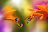 Simply macro passion (Macro-photography) Tags: canon 6d 100mm water drops waterdrops droplet fartistic nature closeup focus petals floralart reflection bokeh light orange purple flores softness flower garden yellow daisy macrophotography soft onlyflowers gerbera