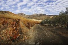 Viñas y olivos en el Valle de Douro (Portugal) (Leticia Cabo) Tags: viñas vinho viño vino wine olivo aceite sky cielo otoño autumn outueno outuenu seronda mirando do douro arribes del duero portugal landscape mountain live folk hill montaña colina