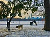Working in a winter Wonderland, Great Lawn Central Park (dannydalypix) Tags: snowincentralpark snow greatlawn siberianhusky snowincentralp centralpark