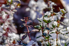 Winter Thyme (thatSandygirl) Tags: herb thyme green snow leaves foliage herbs frost frozen cold winter december garden edible stems