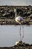 IMG_1941 (ibzsierra) Tags: ibiza eivissa baleares tamronsp150600mmf563divcusdg2a022 canon 7d tamron 150600 g2 ave bird oiseau flamenco flamingo salinas parque natural