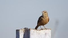 Not Able to Identify - Please help (jhureley1977) Tags: birds birding birdsofindia indiabirds indiabirding2017 ashjhureley avibase naturesvoice bbcspringwatch rspbbirders orientbirdclub sanctuaryasia ashutoshjhureley jabalpur jabalpurbirds